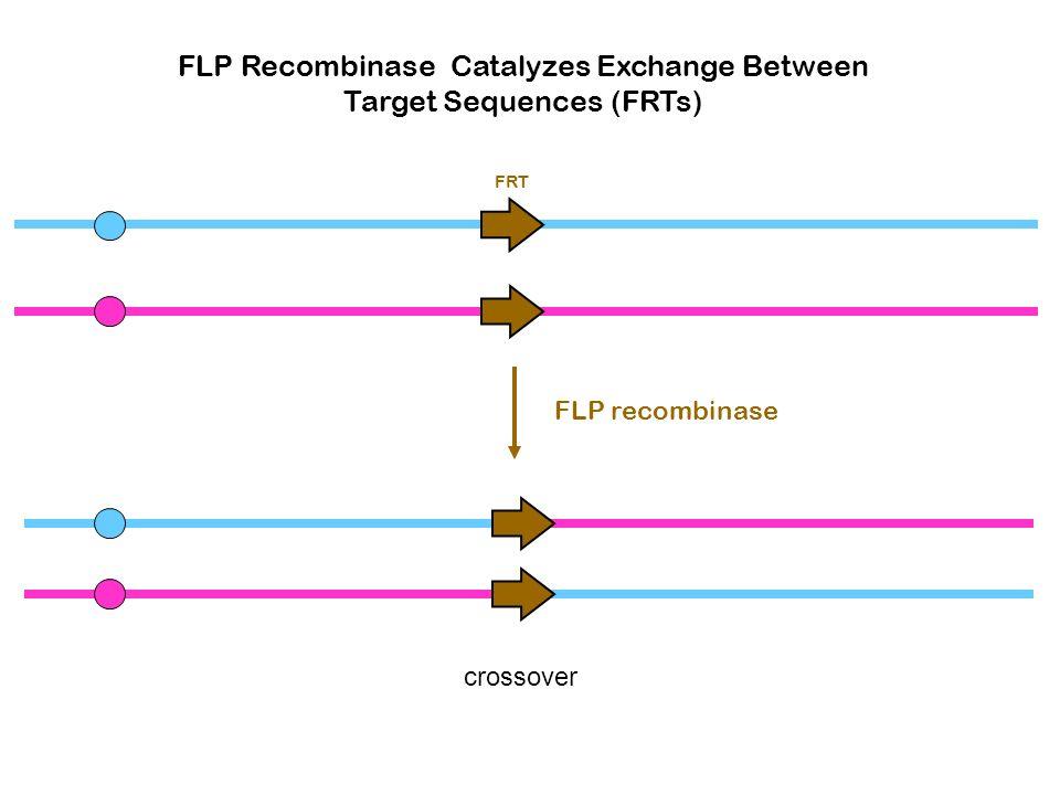 FLP Recombinase Catalyzes Exchange Between Target Sequences (FRTs)