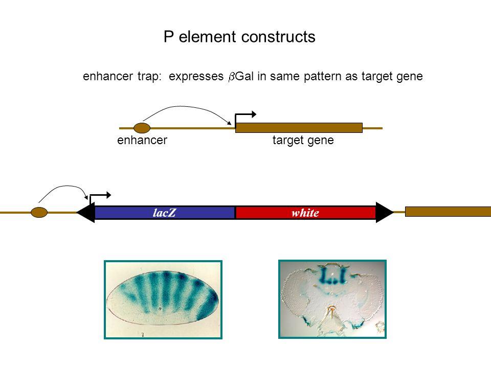 enhancer trap: expresses bGal in same pattern as target gene