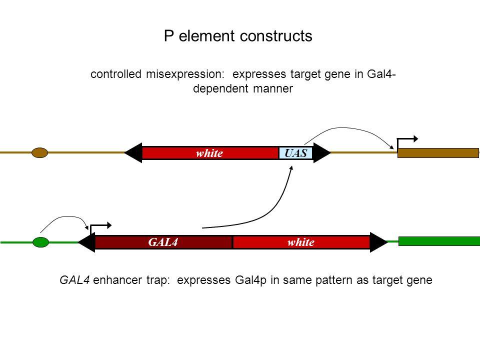 GAL4 enhancer trap: expresses Gal4p in same pattern as target gene