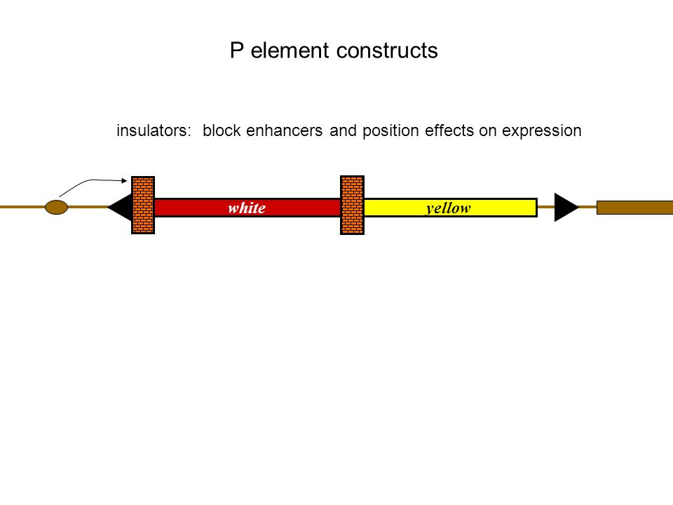 insulators: block enhancers and position effects on expression