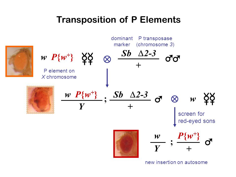 Transposition of P Elements