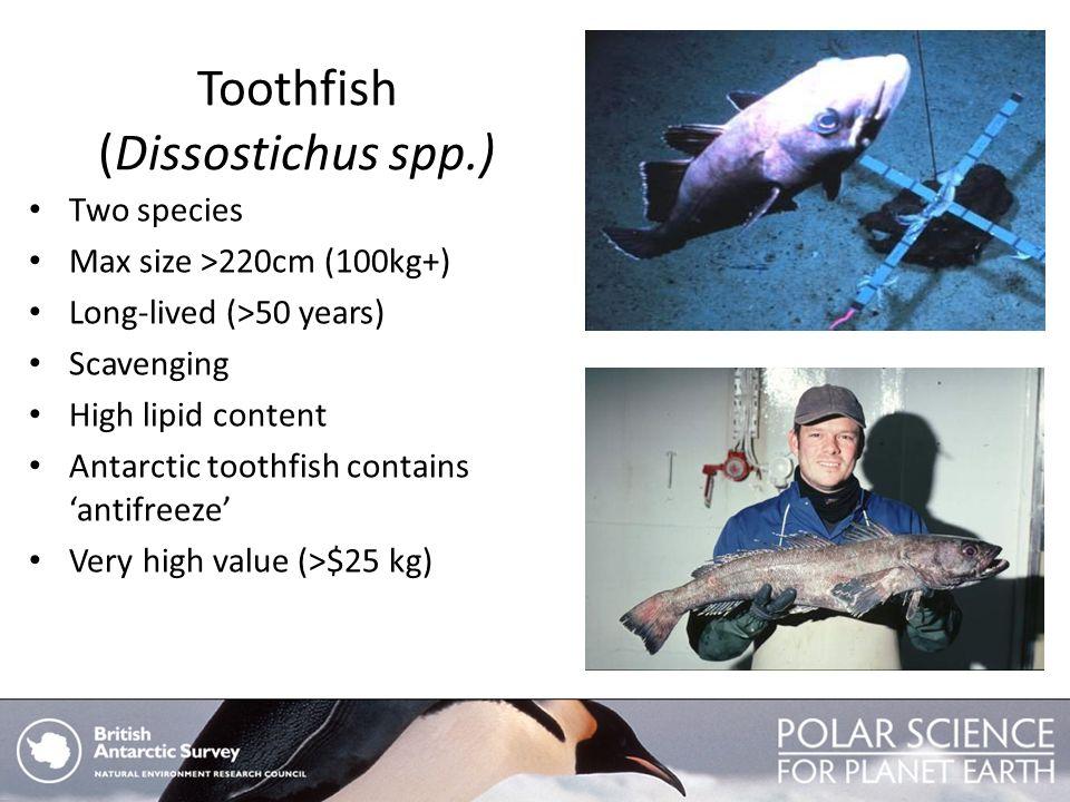 Toothfish (Dissostichus spp.)
