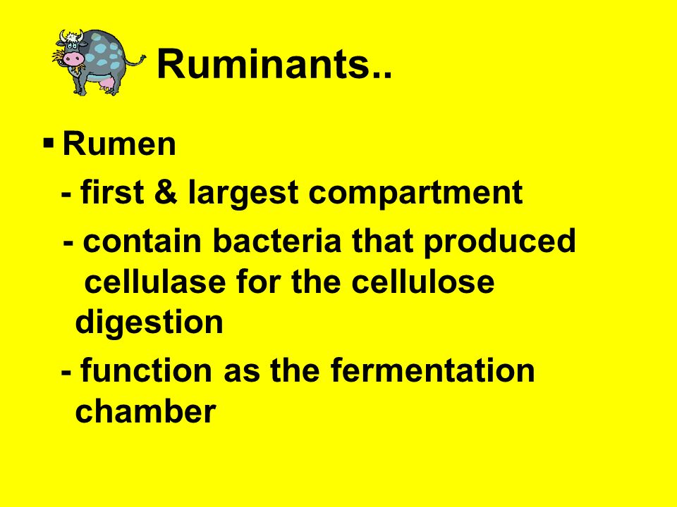 Ruminants.. Rumen - first & largest compartment
