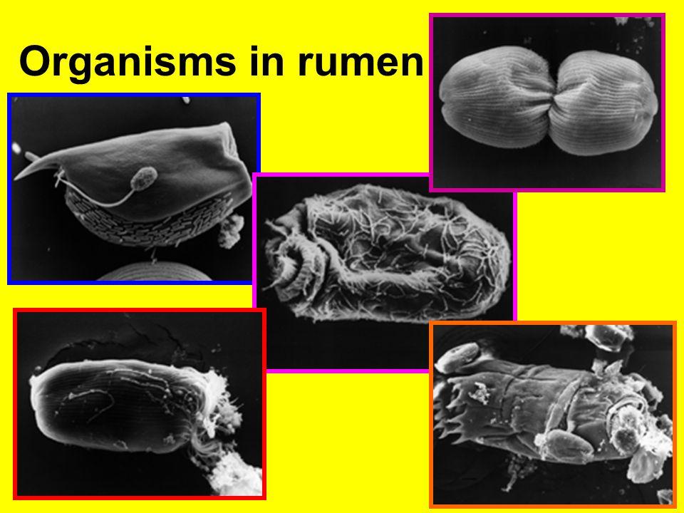 Organisms in rumen