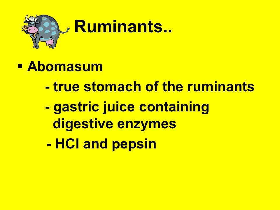 Ruminants.. Abomasum - true stomach of the ruminants