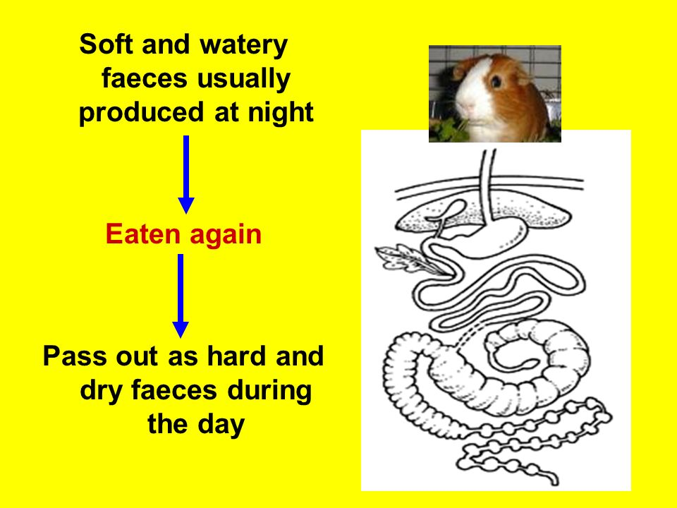 Soft and watery faeces usually produced at night
