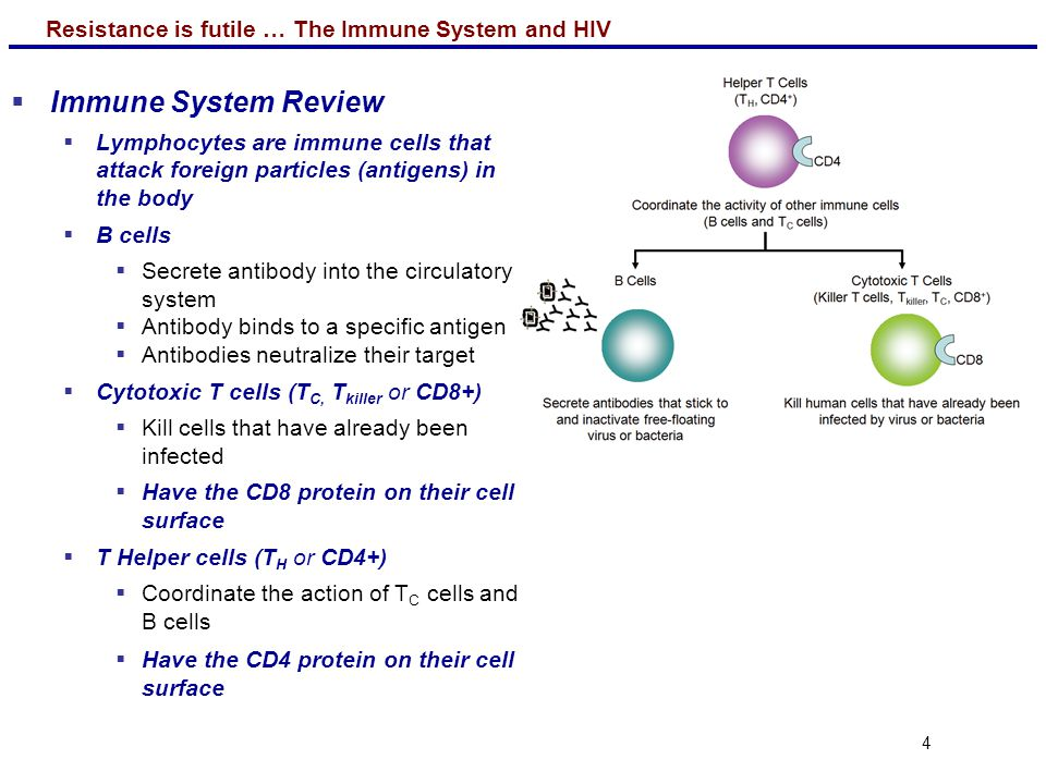 Immune System Review Lymphocytes are immune cells that attack foreign particles (antigens) in the body.