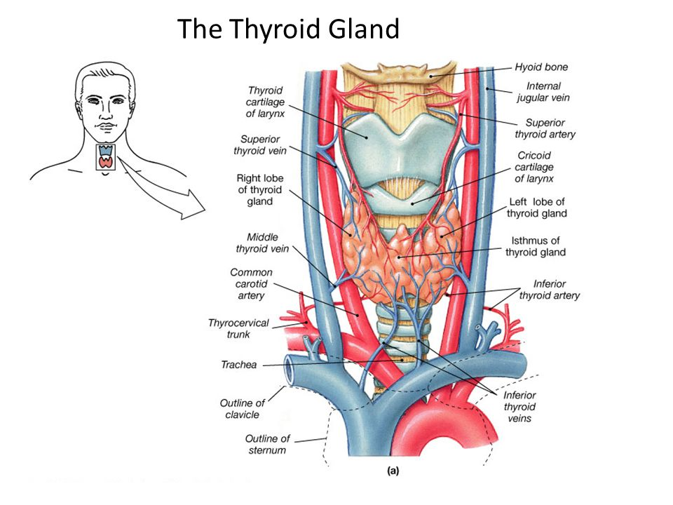 the thyroid gland Solbiati l, livraghi t, ballarati e, et al thyroid gland in: solbiati l, rizzatto g, editors ultrasound of superficial structures: high frequencies, doppler.