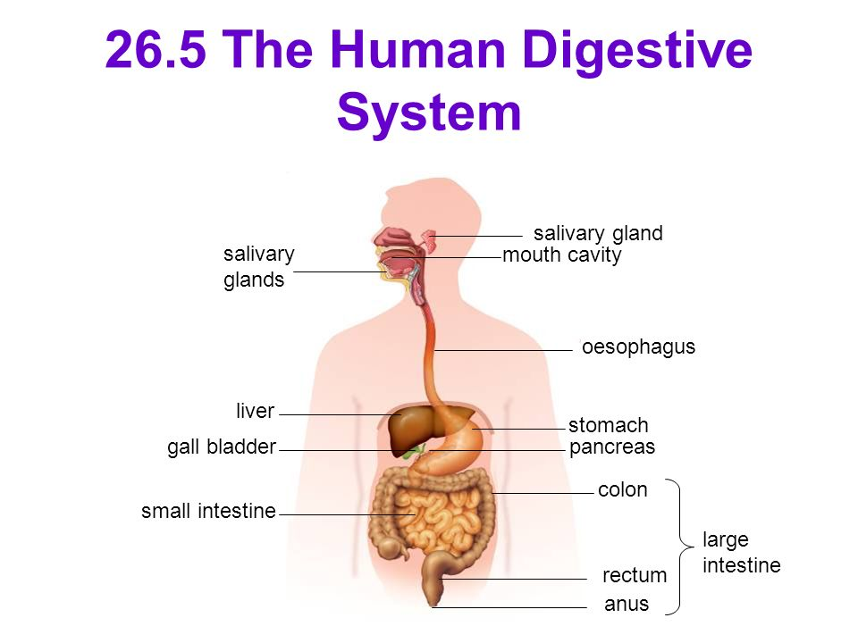 Chapter 26- Digestion in Human Beings - ppt video online ...