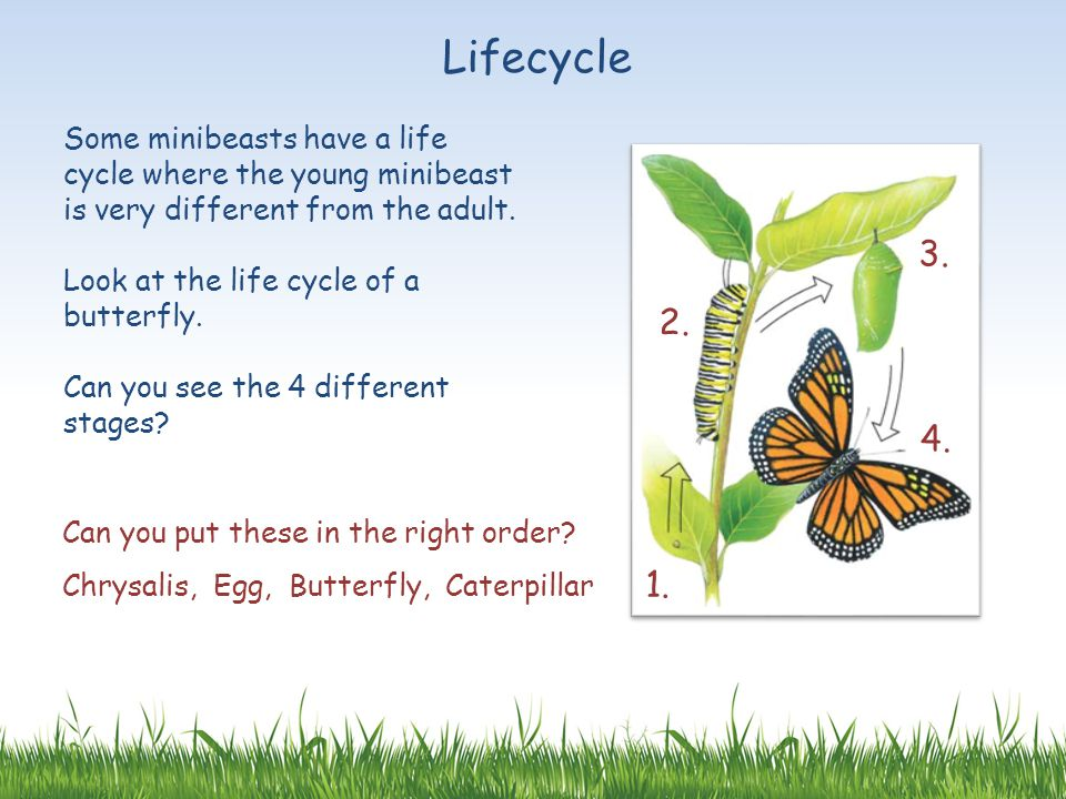 Lifecycle Some minibeasts have a life cycle where the young minibeast is very different from the adult.
