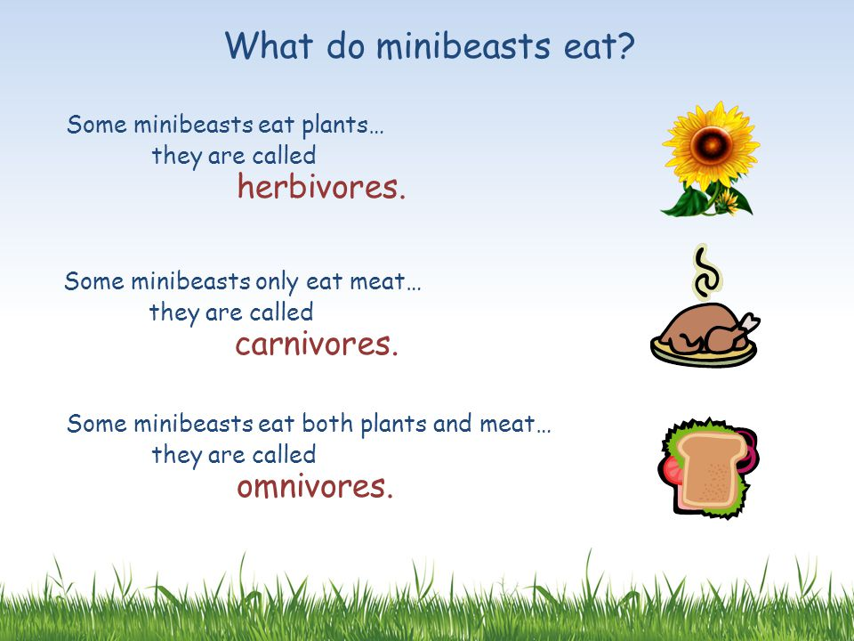 What do minibeasts eat Some minibeasts eat plants…