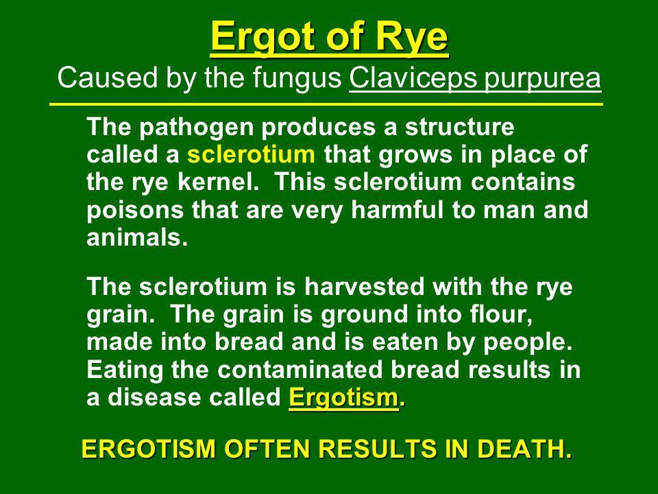 Ergot of Rye Caused by the fungus Claviceps purpurea
