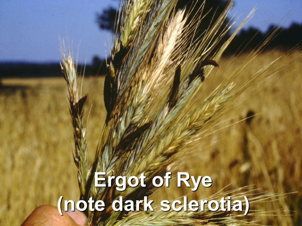 Ergot of Rye (note dark sclerotia)