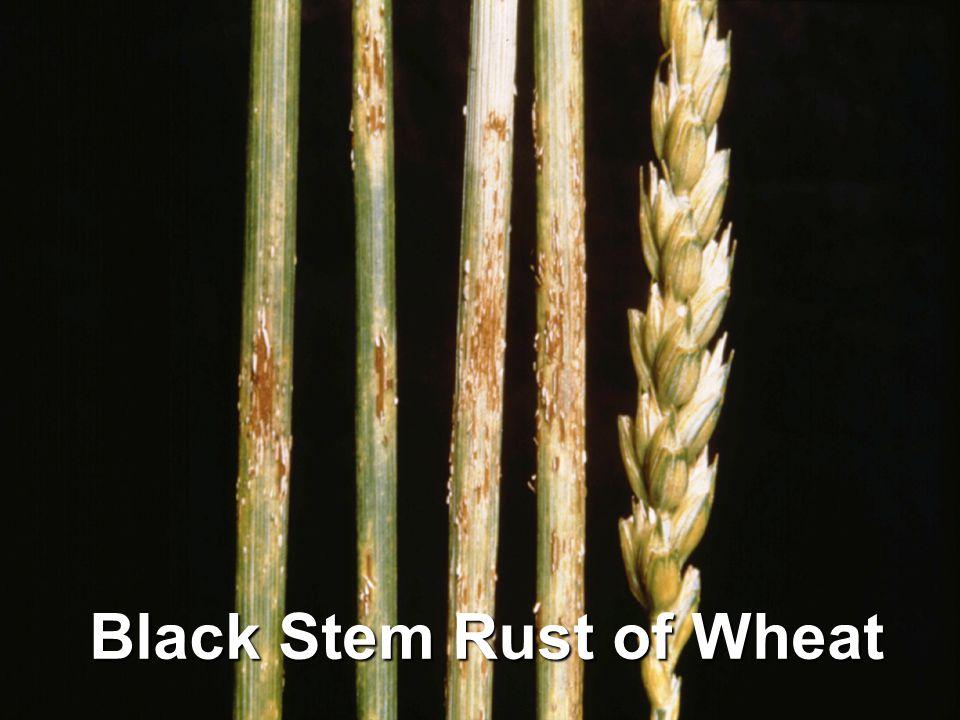 Black Stem Rust of Wheat