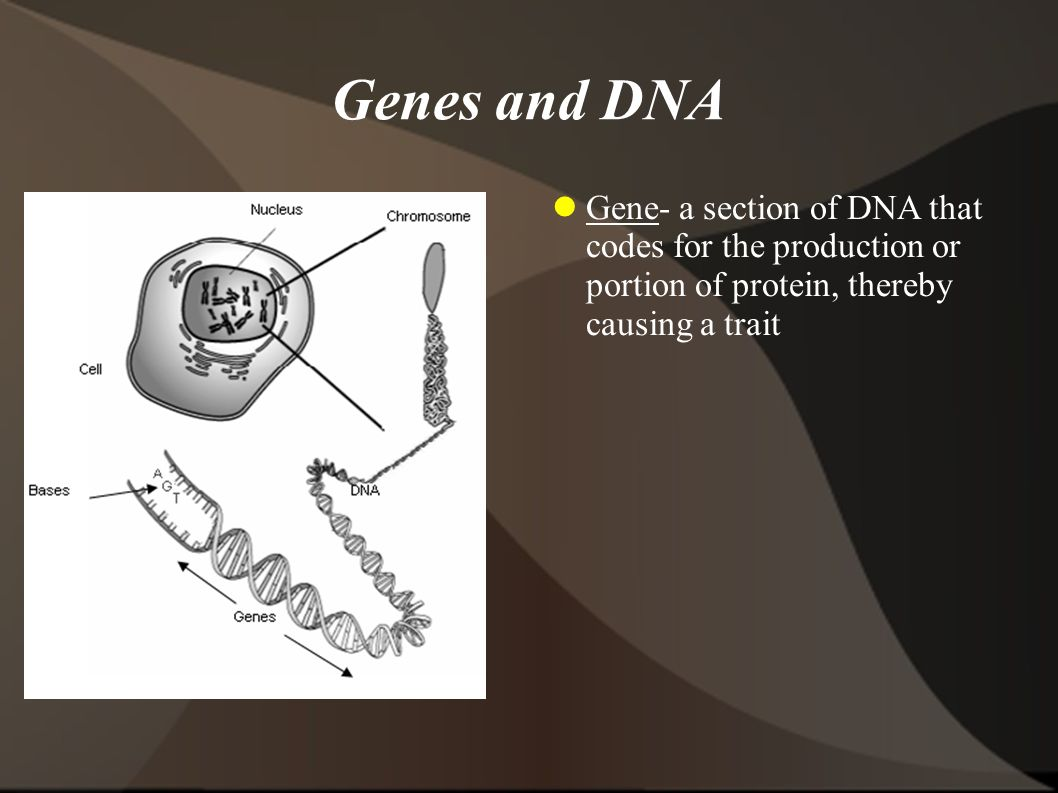 Genes and DNA Gene- a section of DNA that codes for the production or portion of protein, thereby causing a trait.