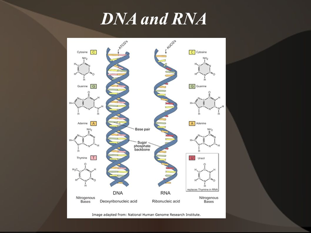 DNA and RNA 13 13