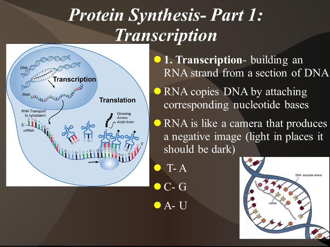 Protein Synthesis- Part 1: Transcription