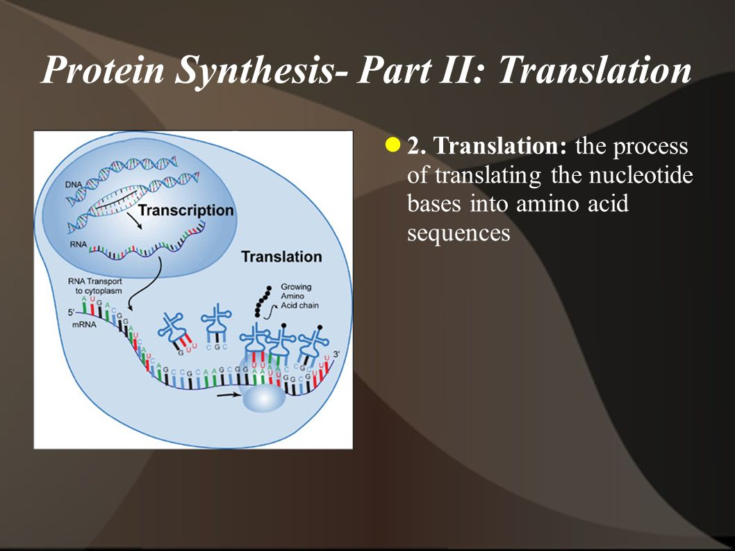 Protein Synthesis- Part II: Translation