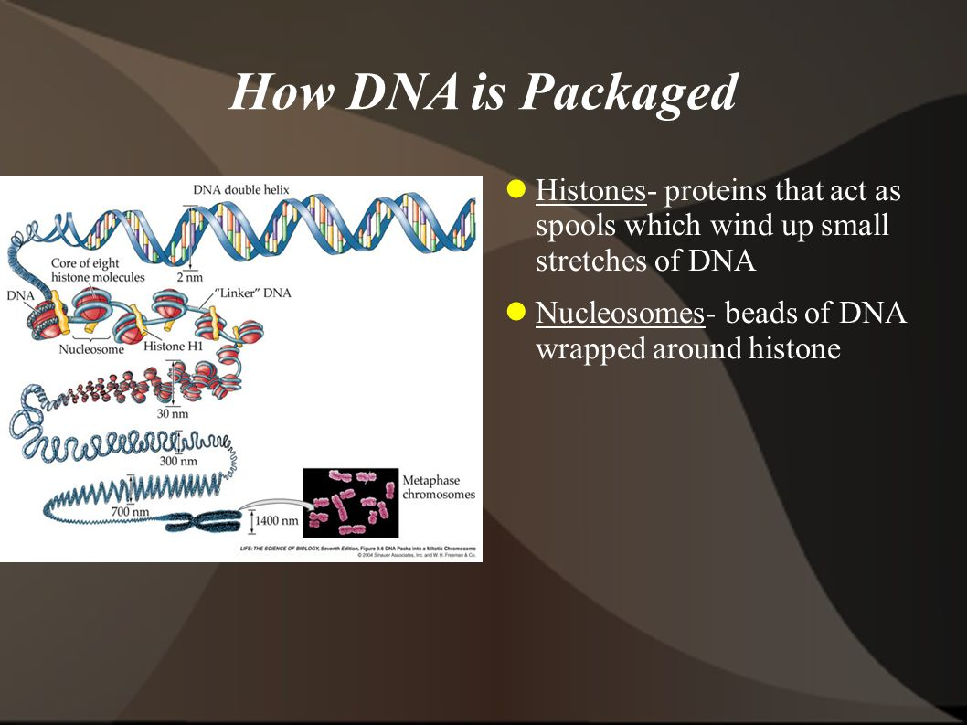 How DNA is Packaged Histones- proteins that act as spools which wind up small stretches of DNA. Nucleosomes- beads of DNA wrapped around histone.