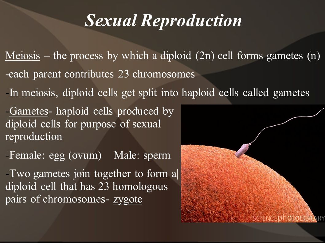 Sexual Reproduction Meiosis – the process by which a diploid (2n) cell forms gametes (n) -each parent contributes 23 chromosomes.