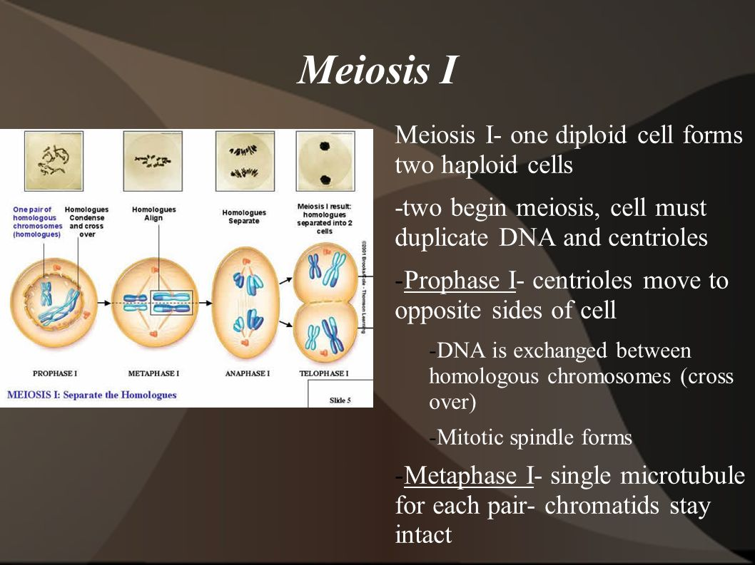 Meiosis I Meiosis I- one diploid cell forms two haploid cells