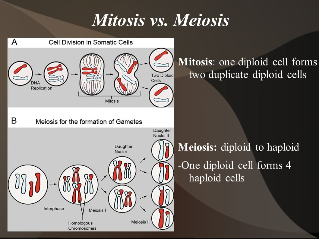 Mitosis vs. Meiosis Mitosis: one diploid cell forms two duplicate diploid cells. Meiosis: diploid to haploid.