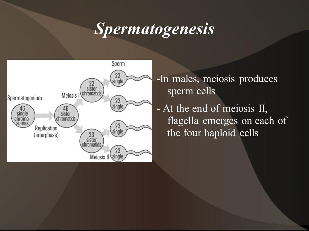 Spermatogenesis -In males, meiosis produces sperm cells