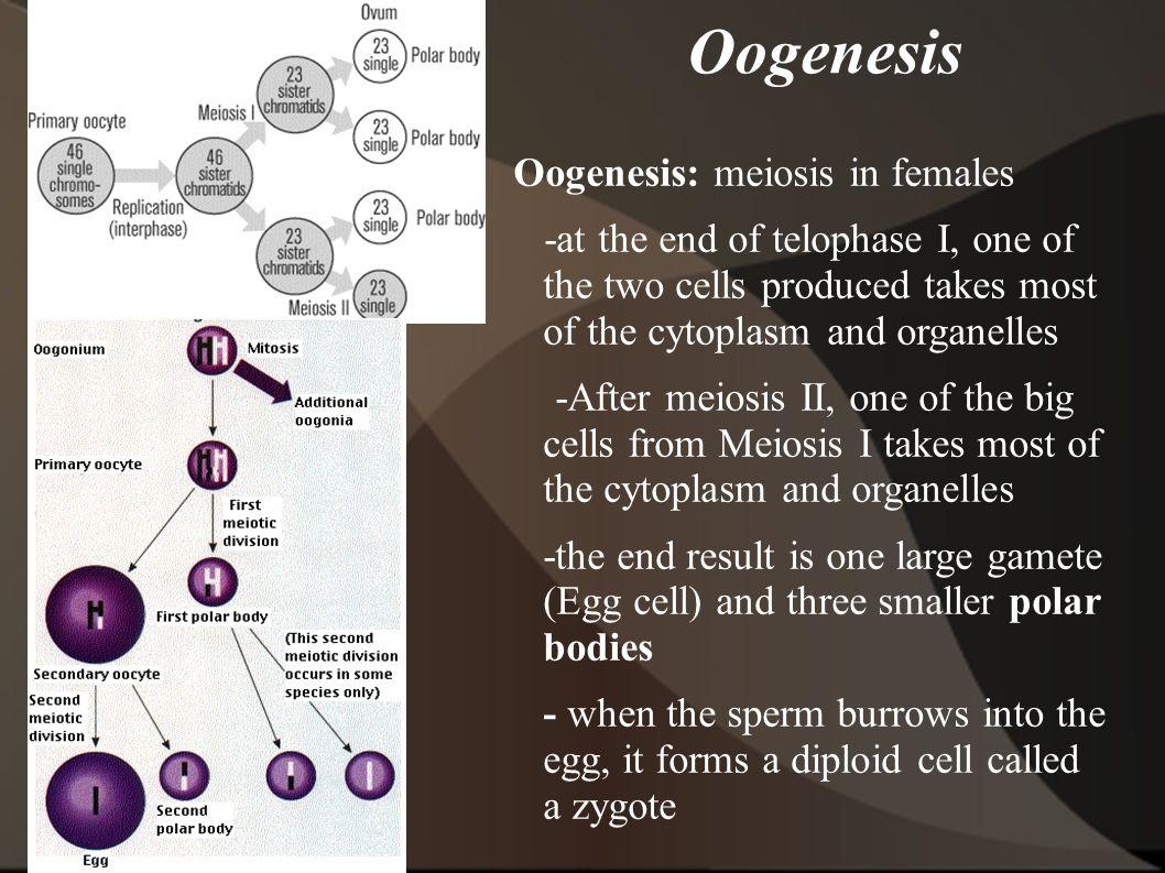 Oogenesis Oogenesis: meiosis in females