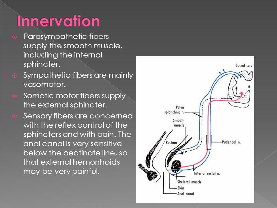 Innervation Parasympathetic fibers supply the smooth muscle, including the internal sphincter. Sympathetic fibers are mainly vasomotor.