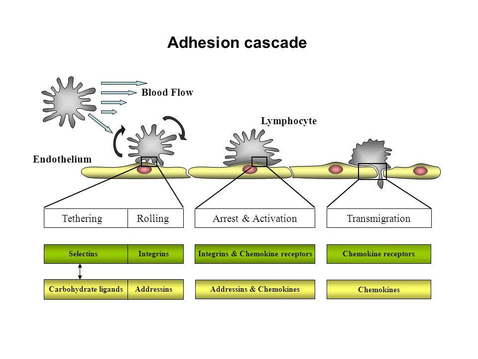 Integrins & Chemokine receptors Addressins & Chemokines