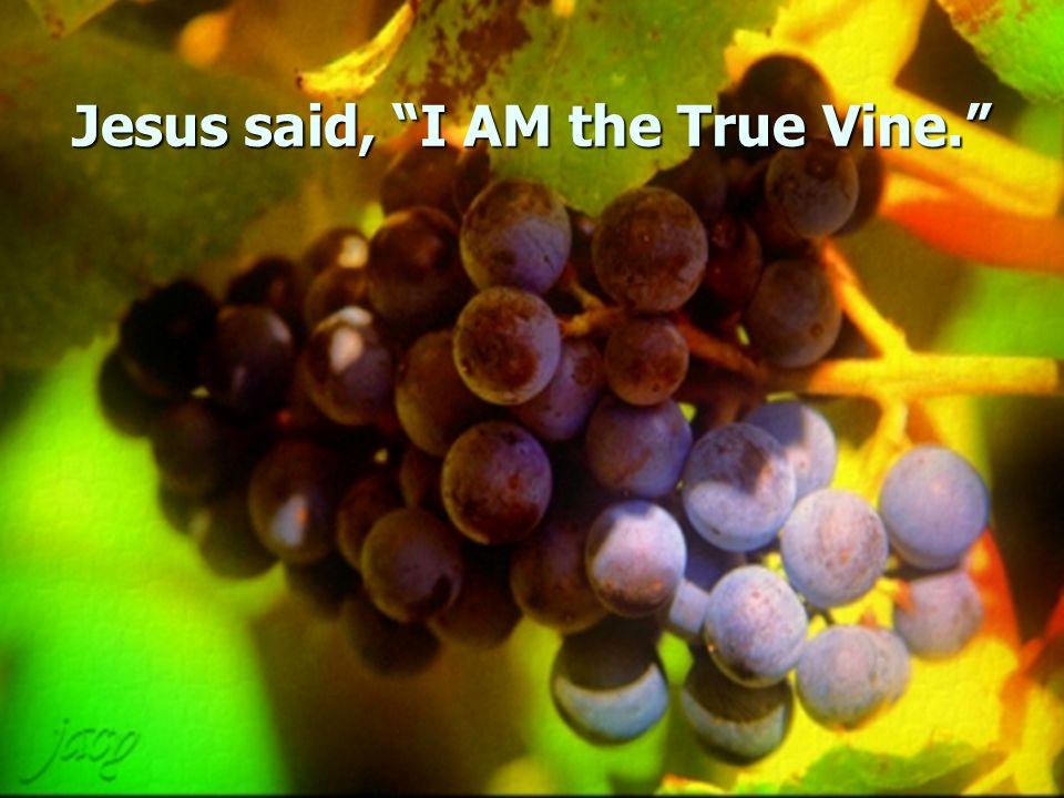 Jesus said, I AM the True Vine.
