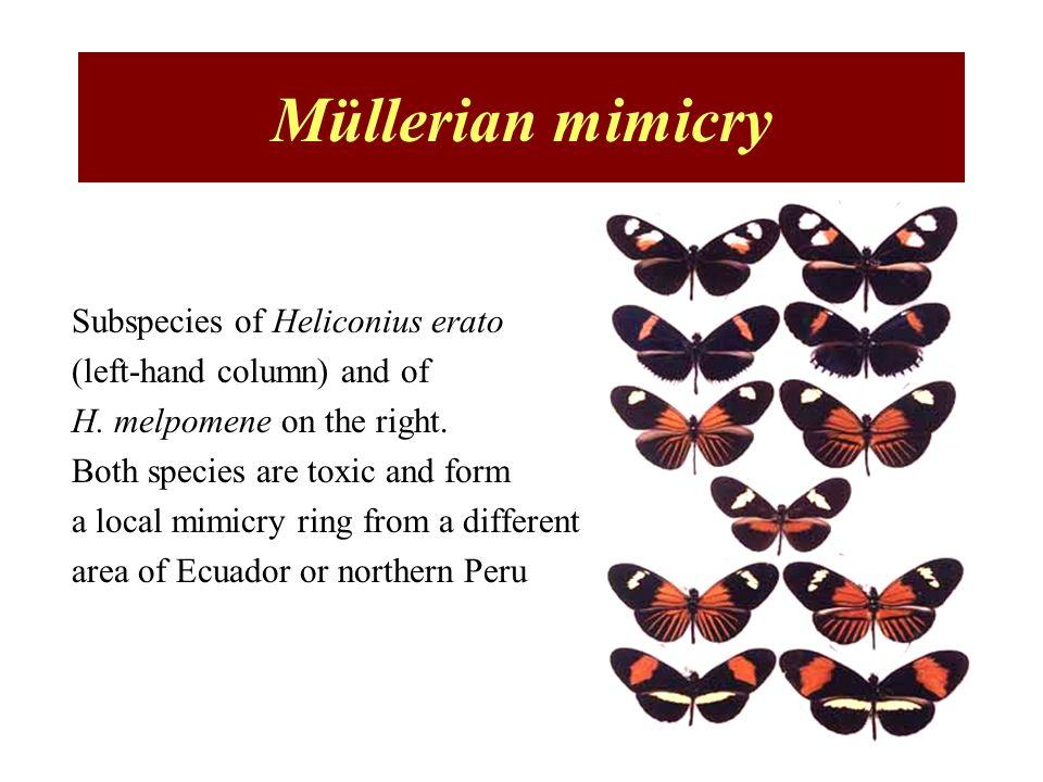 Müllerian mimicry Subspecies of Heliconius erato