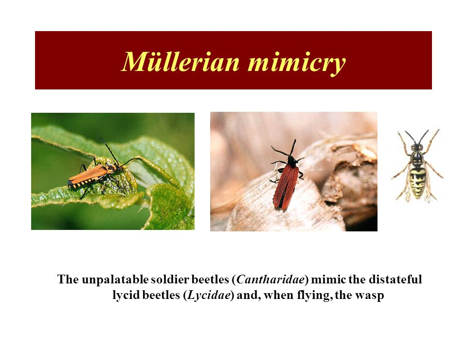 Müllerian mimicry The unpalatable soldier beetles (Cantharidae) mimic the distateful lycid beetles (Lycidae) and, when flying, the wasp.