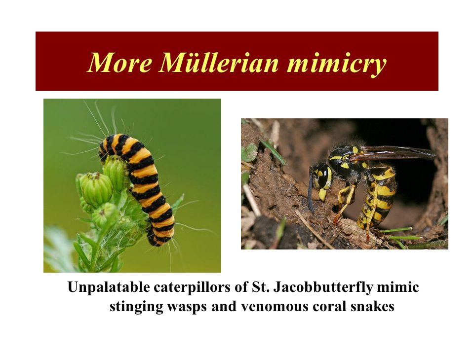 More Müllerian mimicry