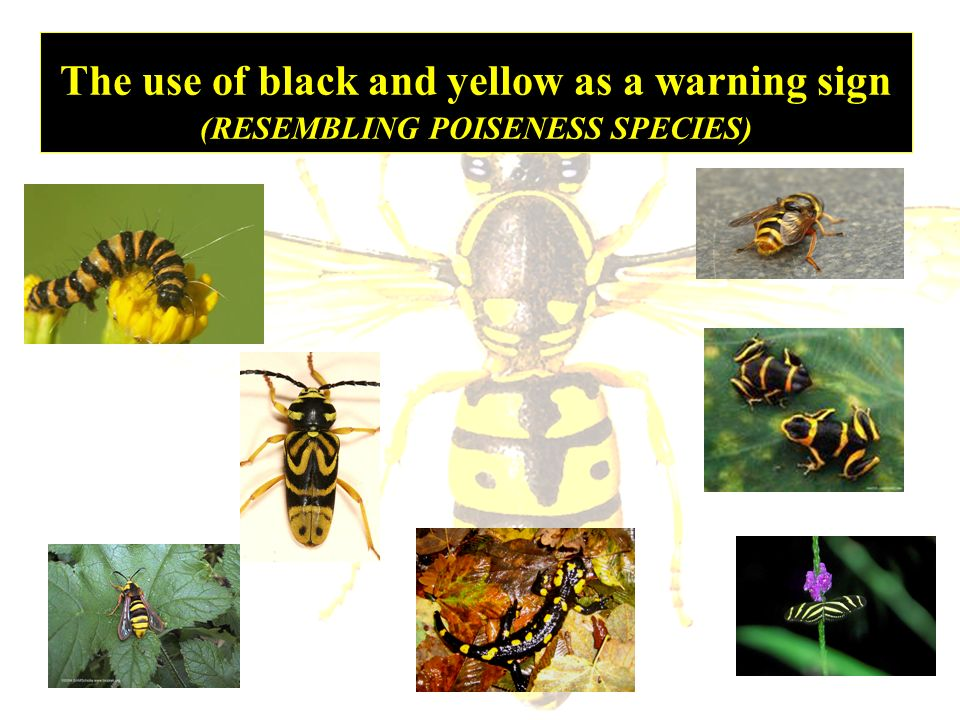 The use of black and yellow as a warning sign (RESEMBLING POISENESS SPECIES)