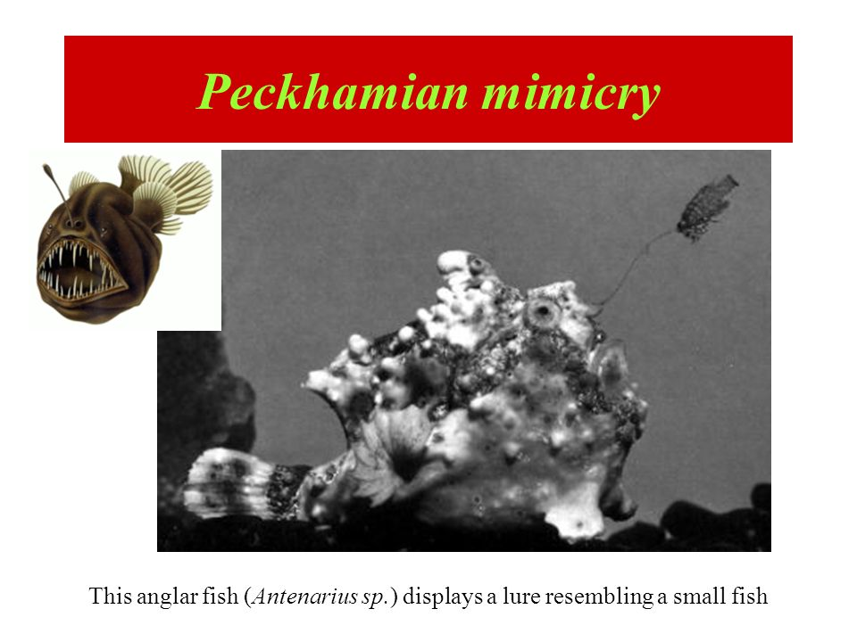 Peckhamian mimicry This anglar fish (Antenarius sp.) displays a lure resembling a small fish