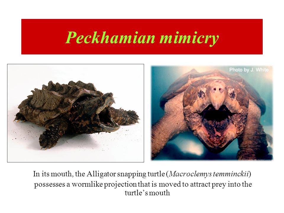 In its mouth, the Alligator snapping turtle (Macroclemys temminckii)