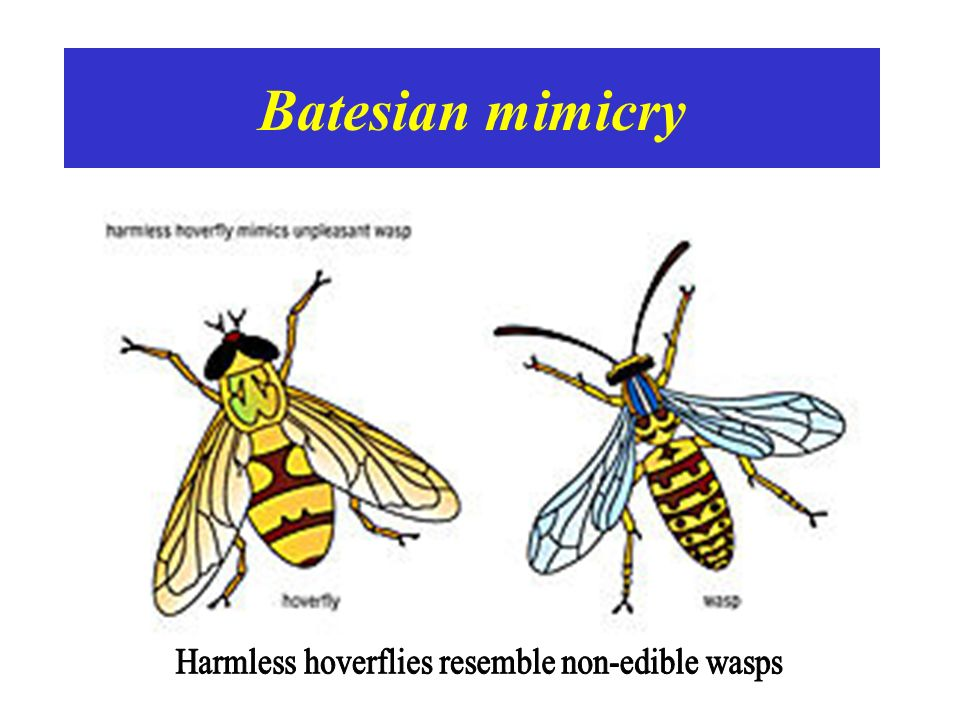Harmless hoverflies resemble non-edible wasps