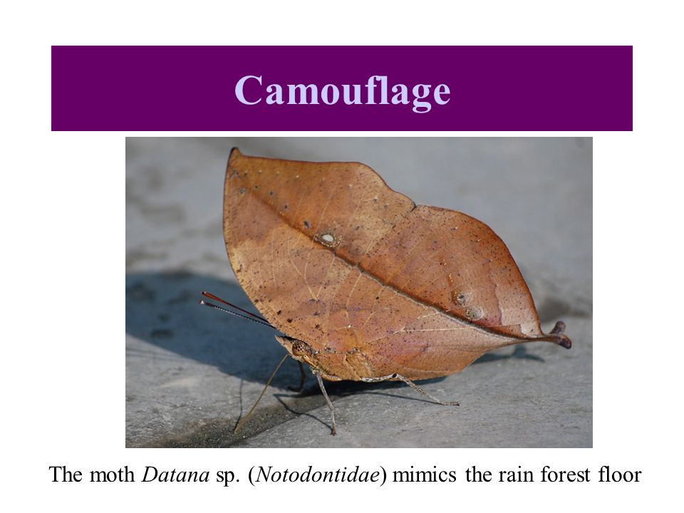The moth Datana sp. (Notodontidae) mimics the rain forest floor