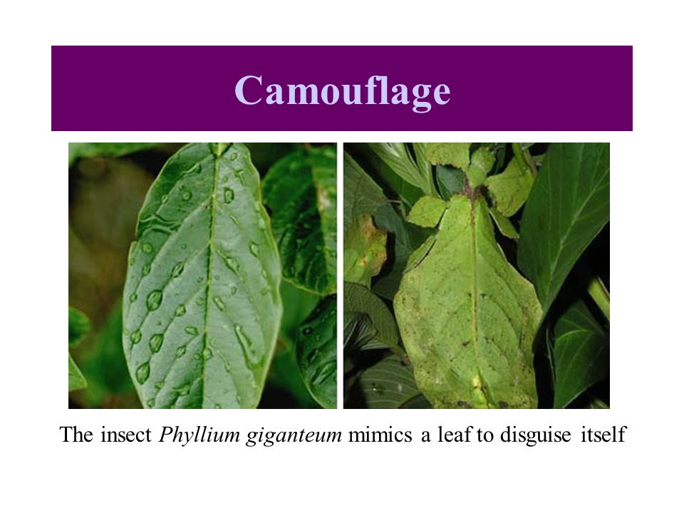 The insect Phyllium giganteum mimics a leaf to disguise itself