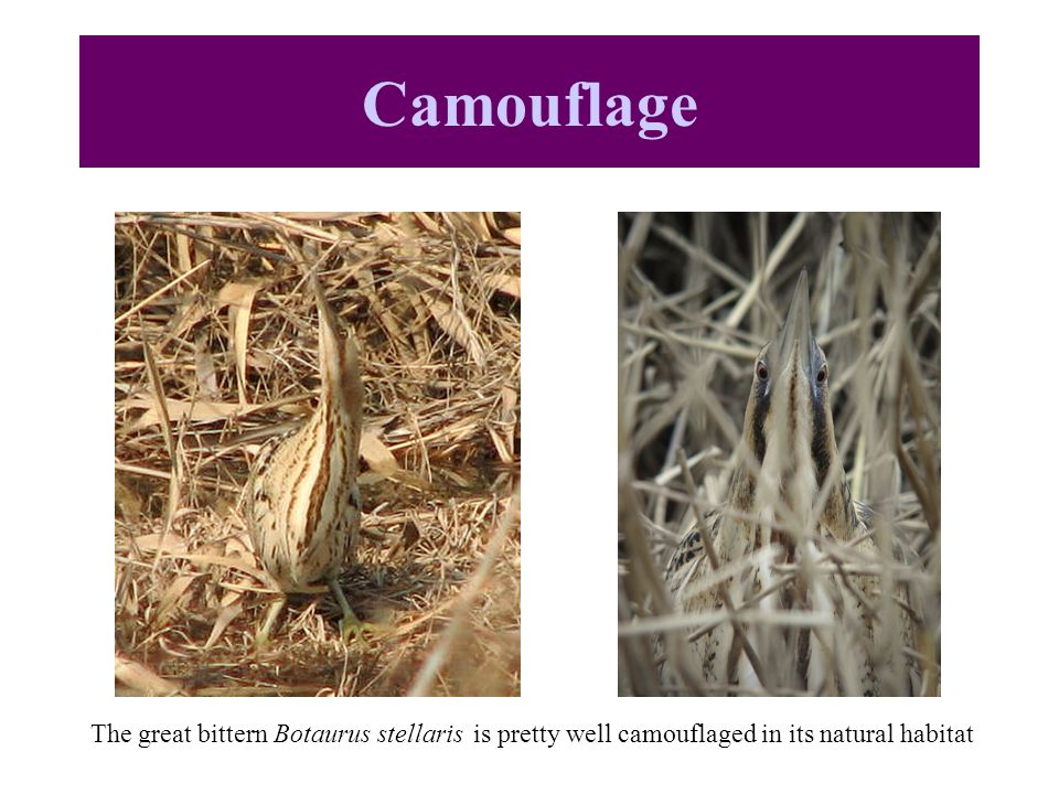 Camouflage The great bittern Botaurus stellaris is pretty well camouflaged in its natural habitat