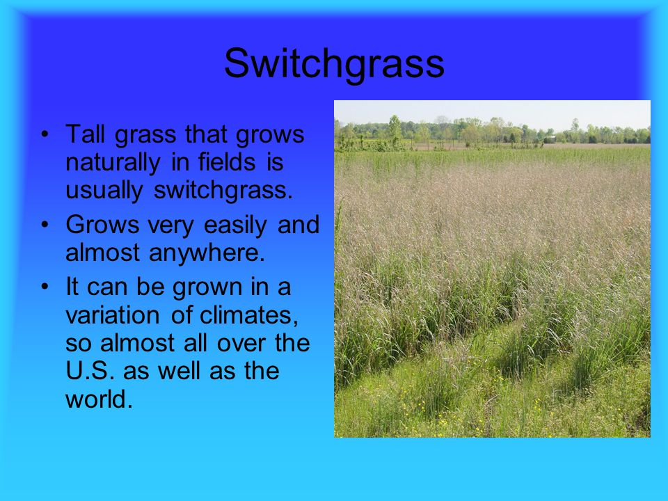 Switchgrass Tall grass that grows naturally in fields is usually switchgrass. Grows very easily and almost anywhere.