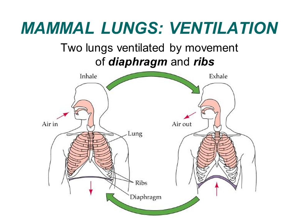Lung Ventilation System : Gas exchange in animals ppt video online download