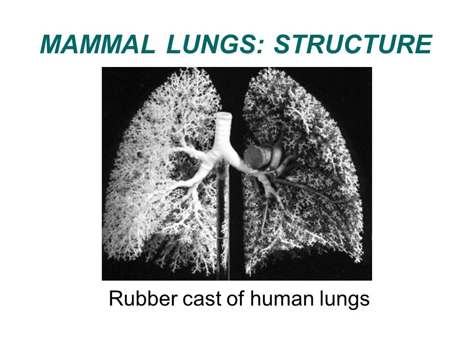 MAMMAL LUNGS: STRUCTURE