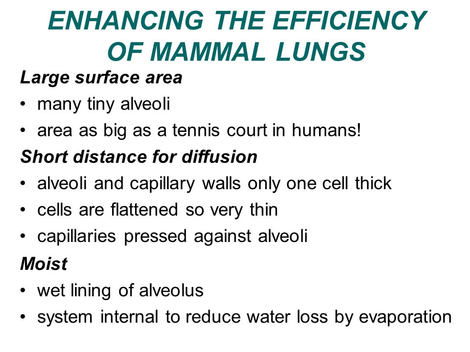 ENHANCING THE EFFICIENCY OF MAMMAL LUNGS