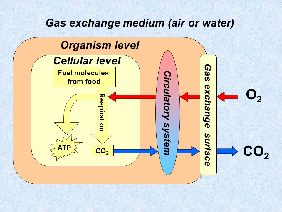 Gas exchange medium (air or water)