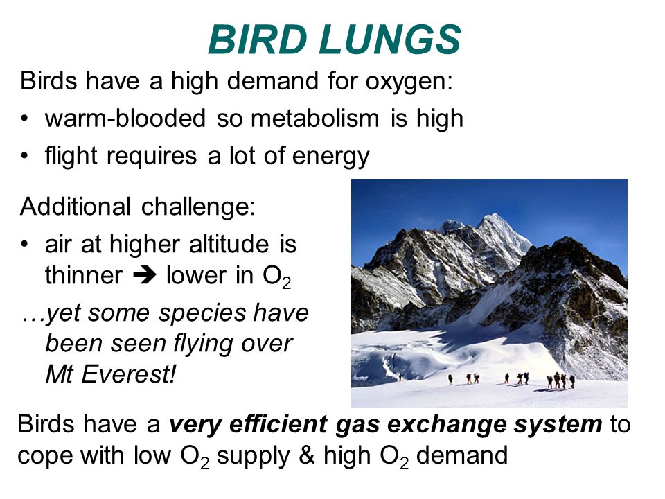 BIRD LUNGS Birds have a high demand for oxygen: