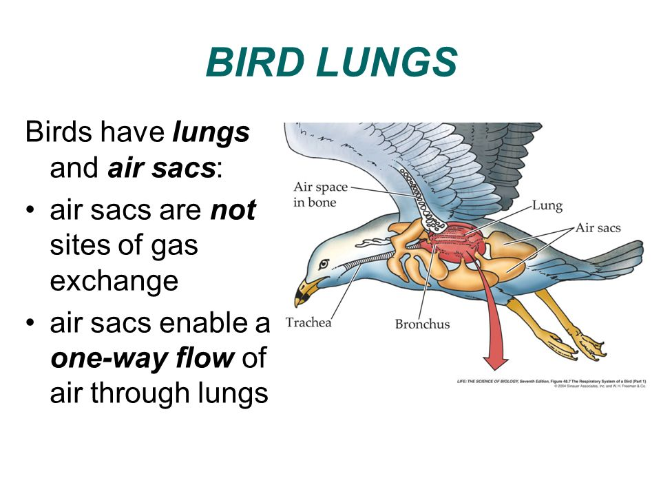 BIRD LUNGS Birds have lungs and air sacs:
