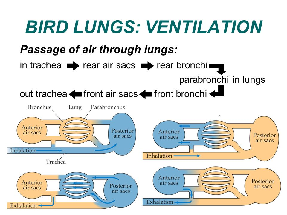 BIRD LUNGS: VENTILATION