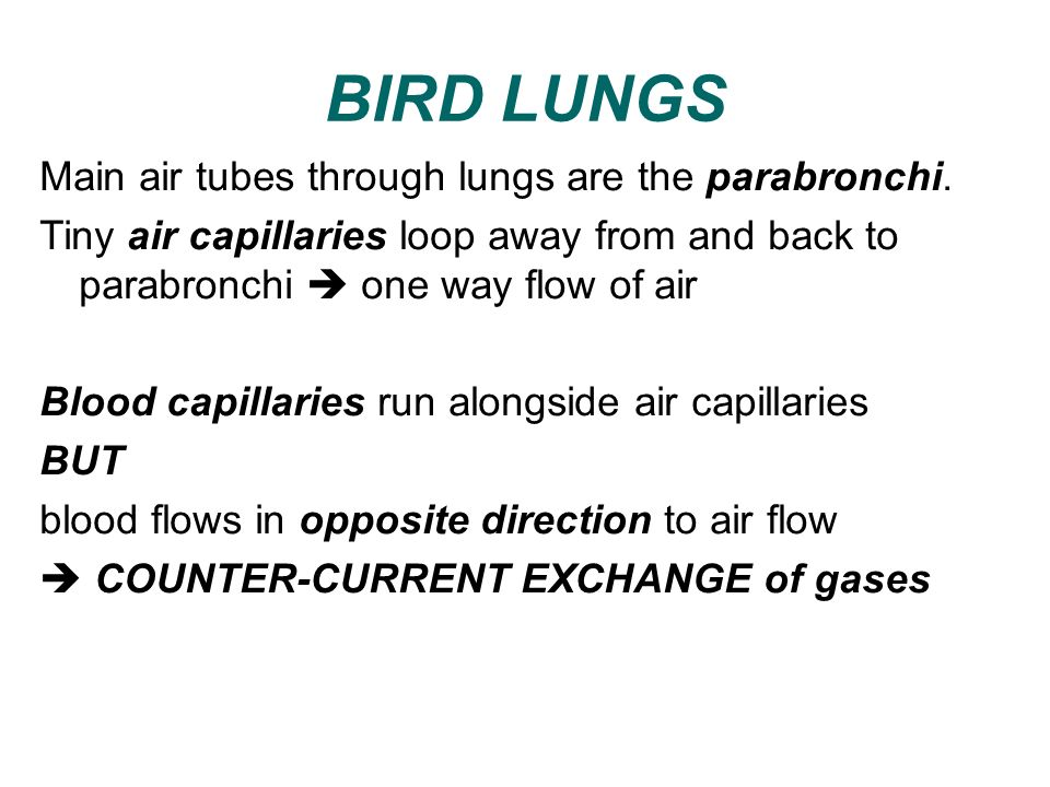 BIRD LUNGS Main air tubes through lungs are the parabronchi.
